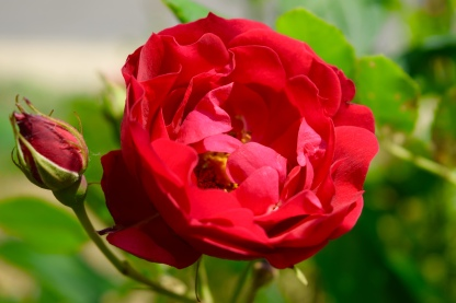 A beautiful red rose I came upon on my travels.