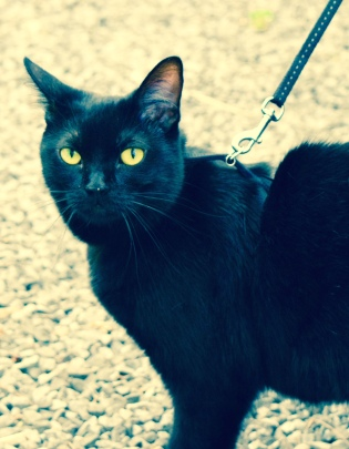Are you superstitious?  This curious black cat crossing my path on my evening walk.