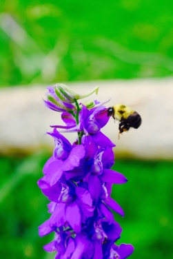 A cute bumble bee and a purple flower at the local community garden.