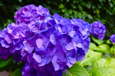 Hydrangeas from their backyard, I love their bright purpleness.