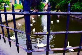 White swans, just swanning around!