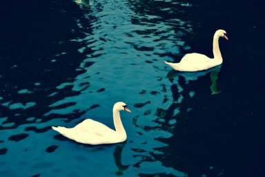 White Swans in Bruge, just beautiful!