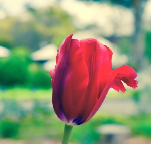 Tulips are one of my favourite flowers. I spontaneously captured this one out one day recently.