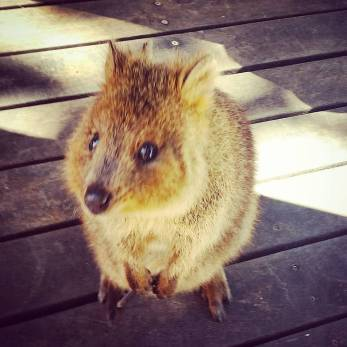 This is a pic of a cute little Quokka!!