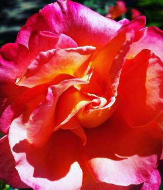 This rose looked extra special and deserves a well earned place in my blog. I love the bright exuberant colours, so fresh, enlightening and attractive. Note: I did not pick this one!