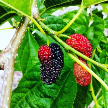 I love mulberries and it is always a goldmine find when there is one blooming in your local area.