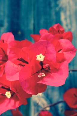 Love a good bougainvillea! These were growing in abundance here in Jurien.