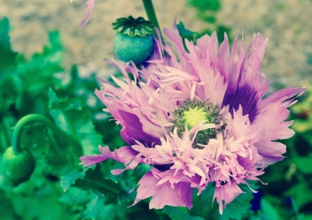 Look at this amazing purple poppy! A most unusual flower and great colour.